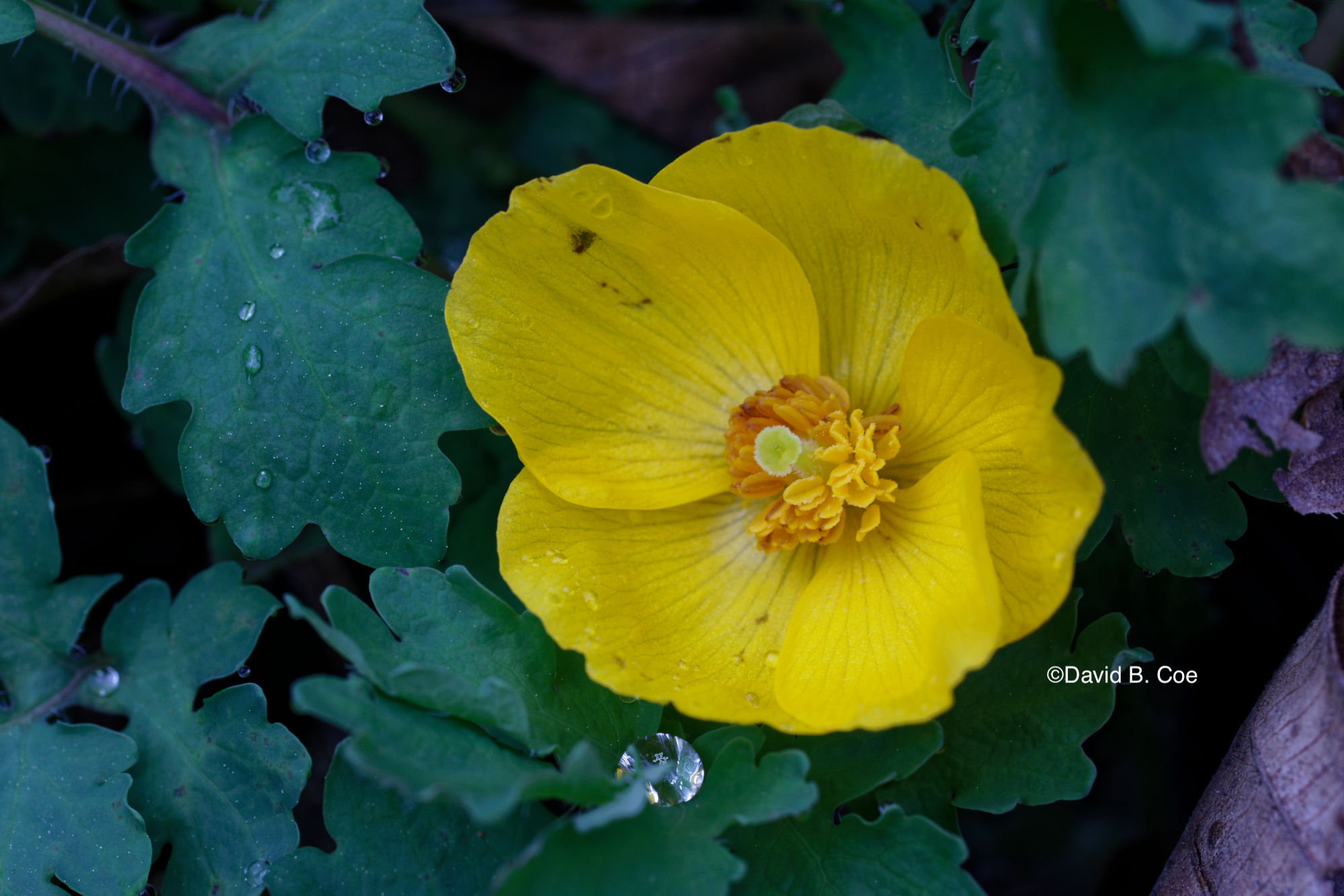 Celandine Poppy After Rain, by David B. Coe