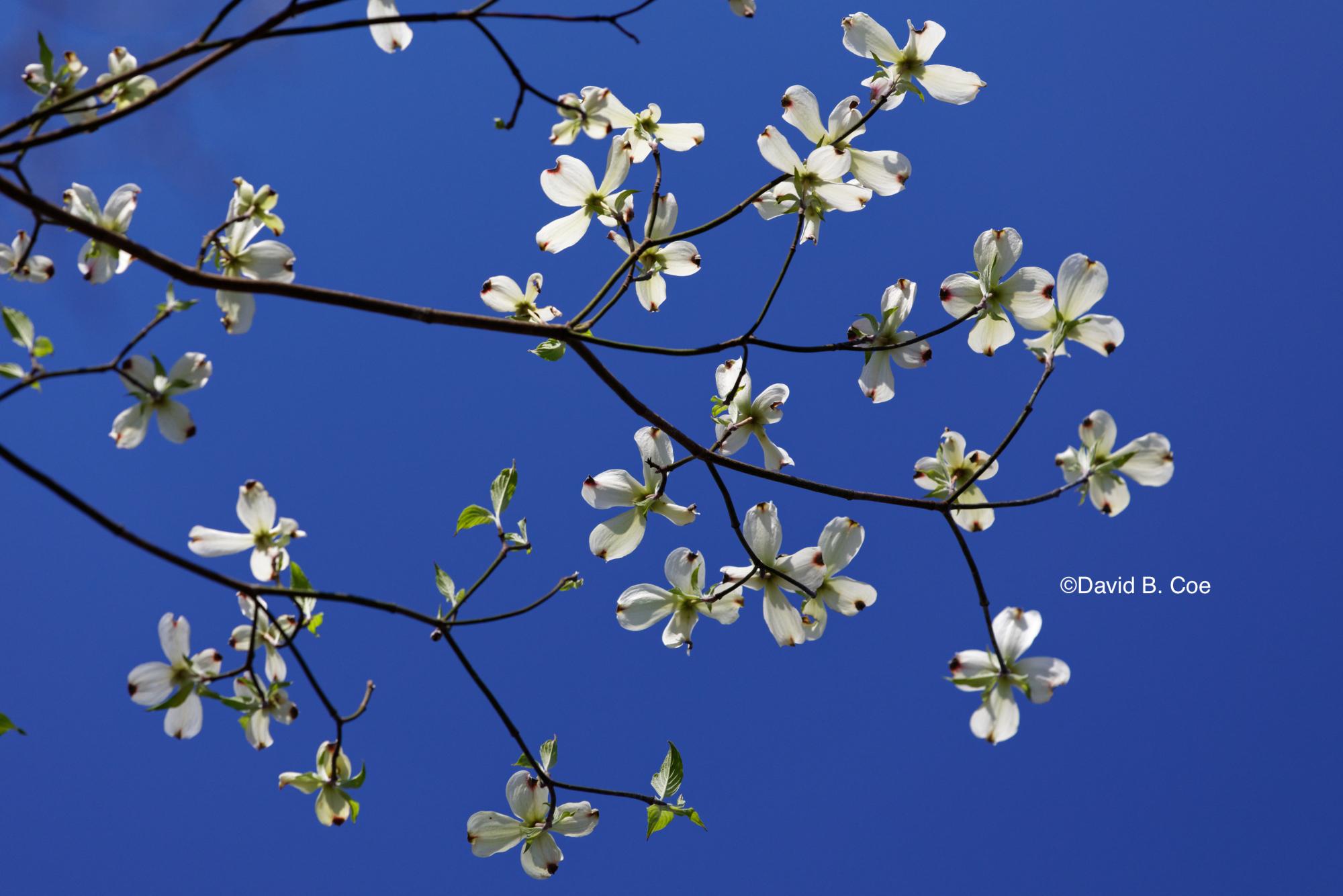 White Dogwood on Blue, by David B. Coe
