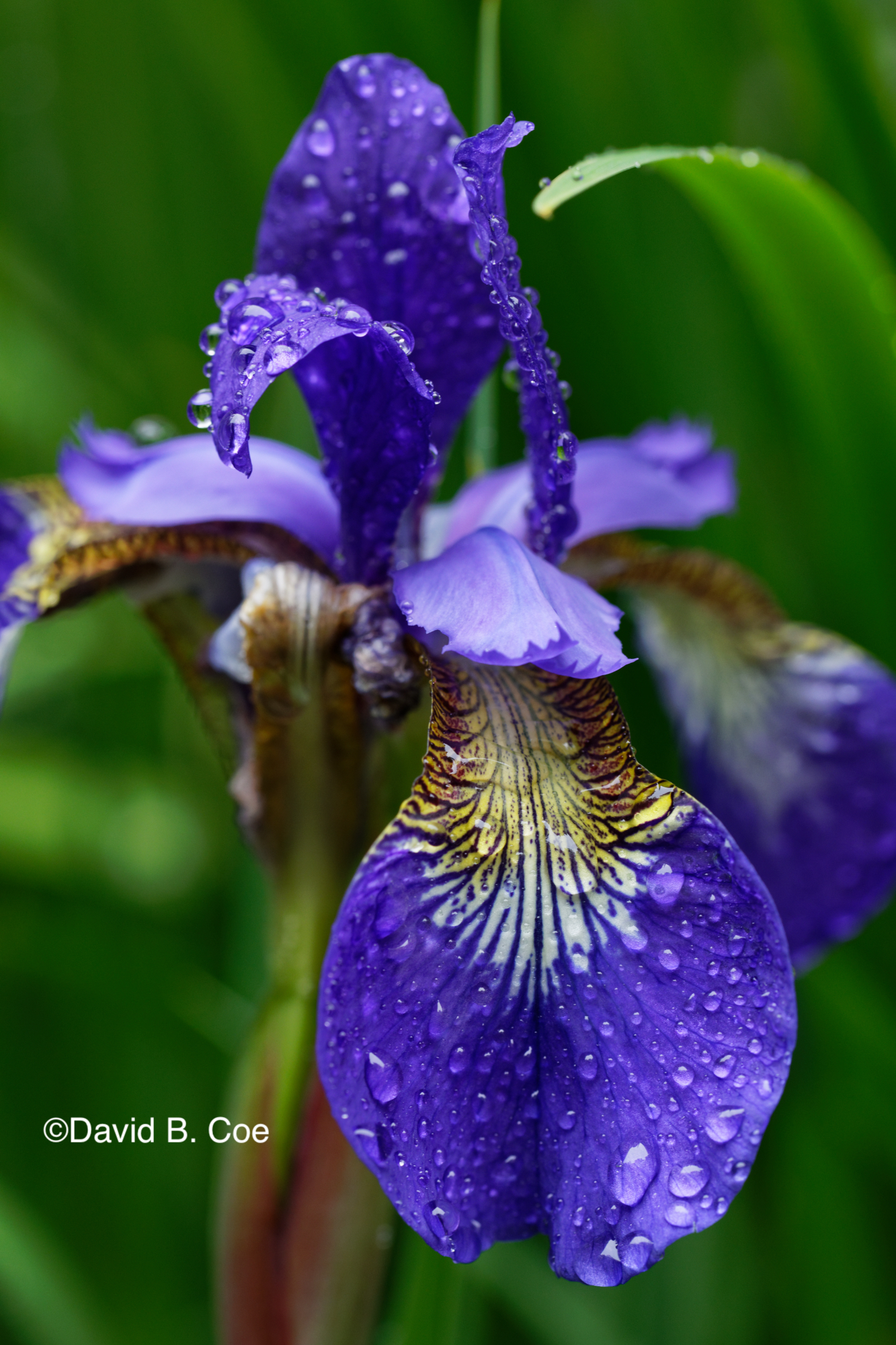 Japanese Iris IV, by David B. Coe