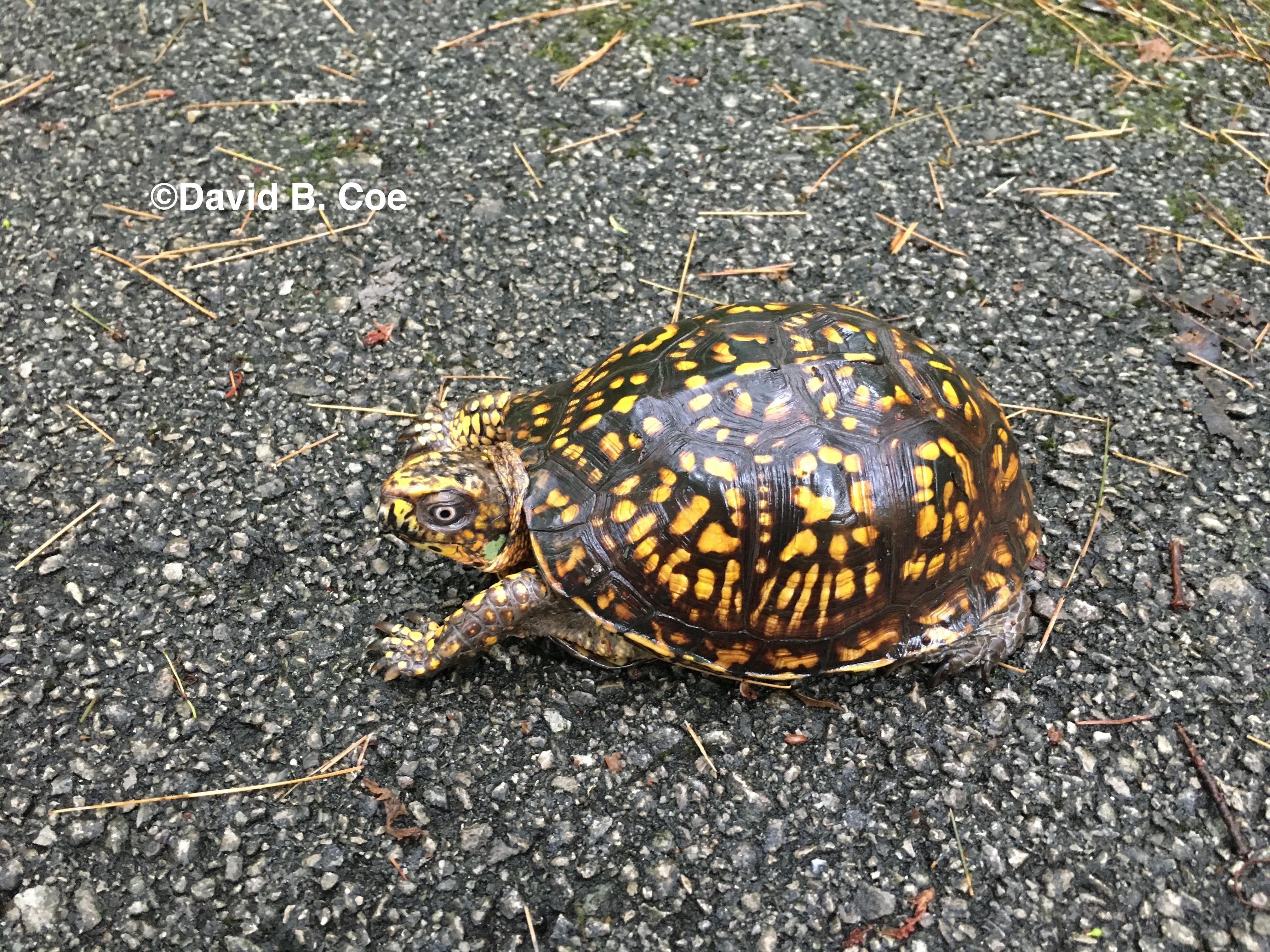 Box Turtle I, by David B. Coe