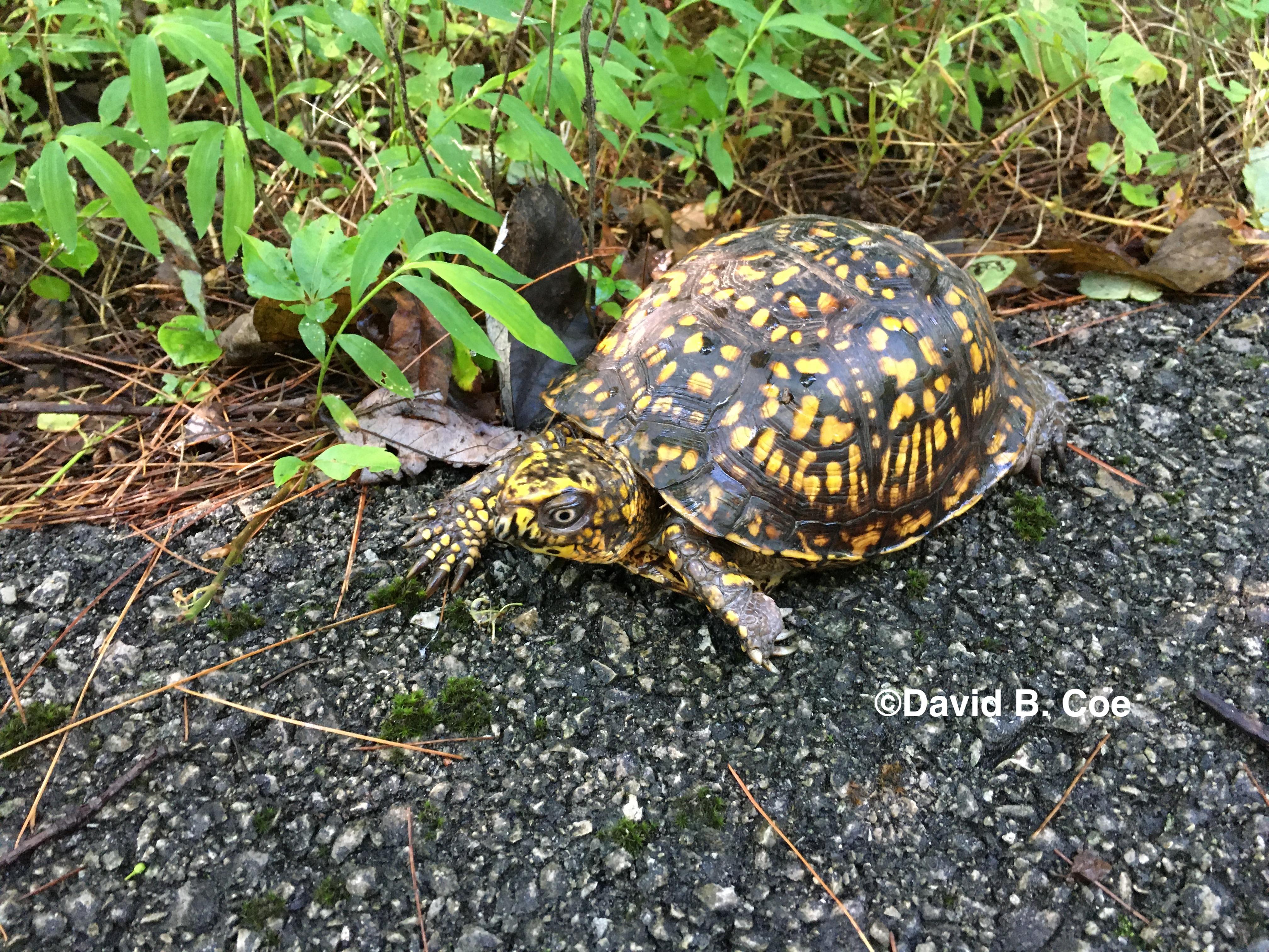 Box Turtle II, by David B. Coe