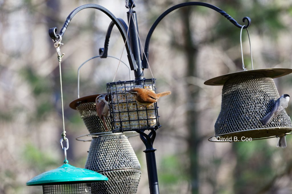 Wrens and Feeder, by David B. Coe