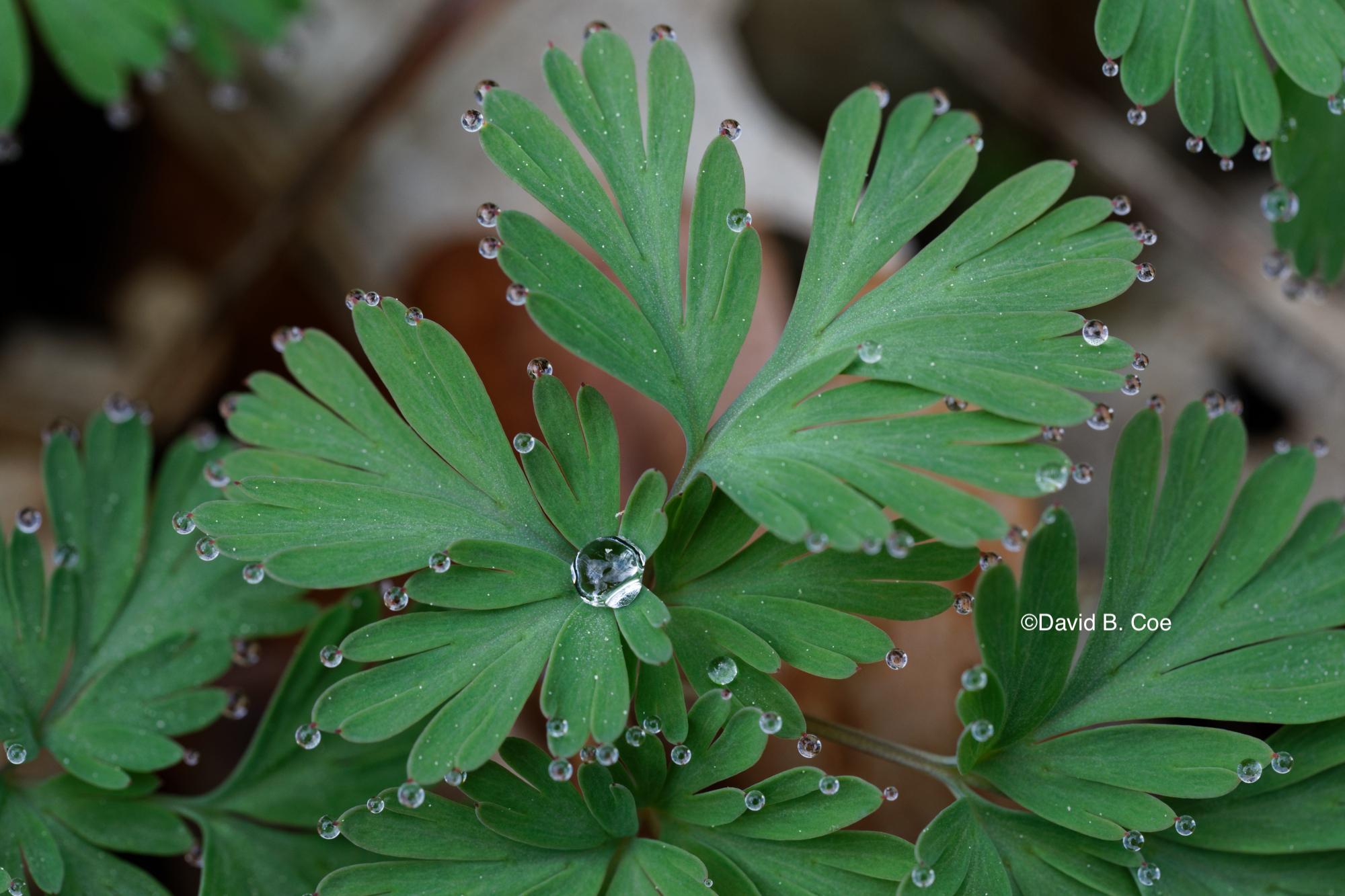 Dutchman's Breeches Greens and Raindrops, by David B. Coe