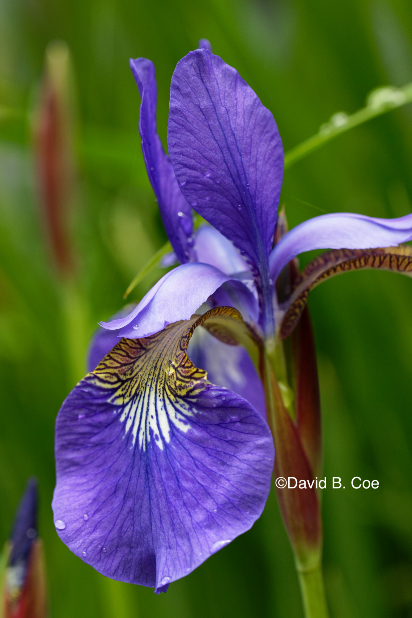 Japanese Iris II, by David B. Co