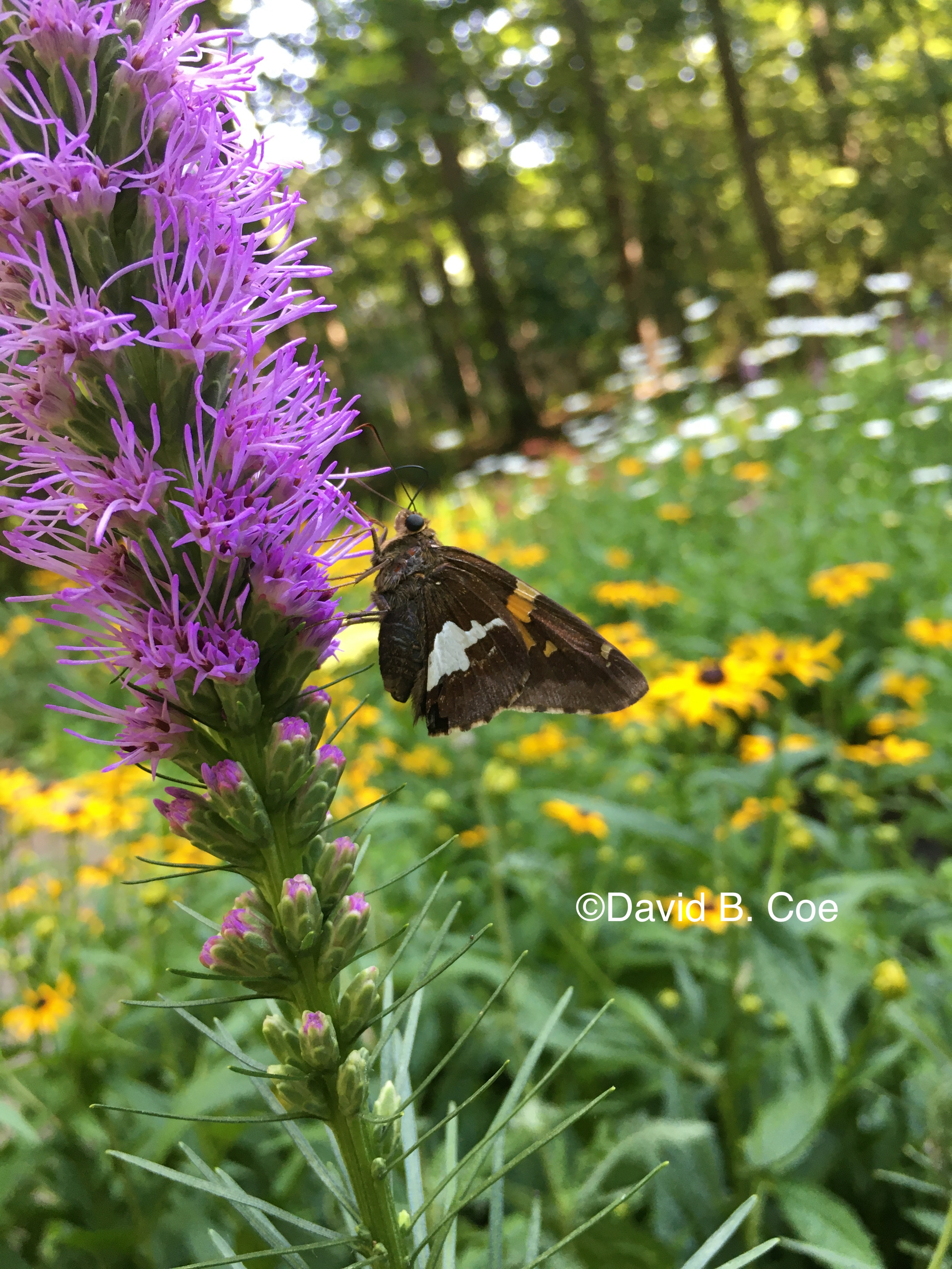 Silver-spotted Skipper on Gayfeather, by David B. Coe